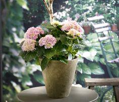 Hortensia er en favoritt hos mange, men ikke alltid lett å holde like fin og frodig når man kommer hjem fra blomsterbutikken. Tips til å få den til å stortrives, får du her.