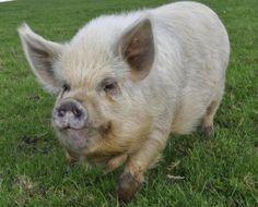 Pigs | Kune-Kune Miniature Pigs