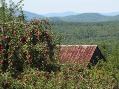 An apple orchard in Sebago, Maine
