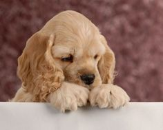 american cocker spaniel puppy (Looks like he is saying his prayers)