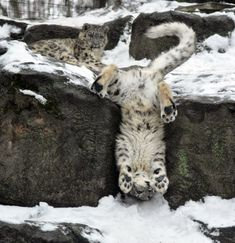 The graceful snow leopard in its natural environment.