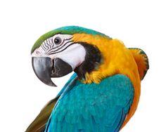 Papegaai-parrot