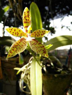 Phalaenopsis cornuservi