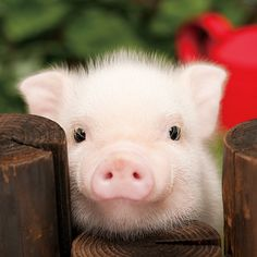 baby lucu Lovely a cute little pig - Se Tiere- Schne Ein ses kleines Schwein Lovely a cute little pig Cute Baby Animals, Animals And Pets, Funny Animals, Farm Animals, Nature Animals, Cute Baby Pigs, Cute Piggies, Tier Fotos, Cute Creatures