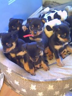 Pineranian puppies at 6 weeks old - Pom Min Pin hybrid