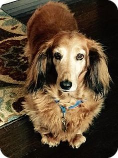 Pictures of Mollie (Courtesy Listing) a Dachshund for adoption in Gig Harbor, WA who needs a loving home.