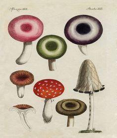 Antique German Mushroom Print