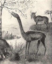 Aepycamelus were camelids that lived in the prairies where the great plains of North America are now during the Miocene between 20 and 5 million years ago. They had leathery skin pads on their legs that functioned as cushions when the animals knelt to rest like those of modern camels.