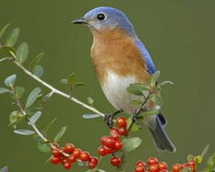 Eastern Bluebird, copyright Audubon