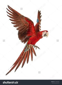 Green-Winged Macaw, Ara Chloropterus, 1 Year Old, Flying In Front Of White Background Stok Fotoğrafı 129934385 : Shutterstock