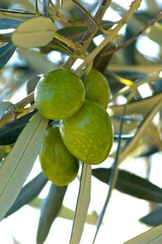 Did you know that olive tree is the oldest known planted tree on Earth