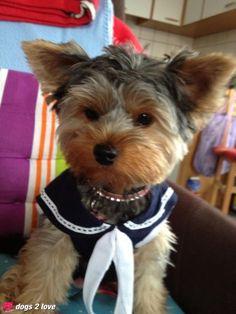 Inka / Yorkshire Terrier