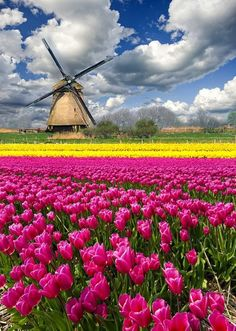 colors of pink, yellow and blue--tulip fields and windmill