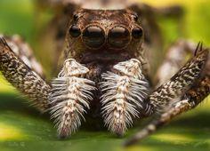 Portia Jumping Spider by RealNoi Chunhavareekul on 500px