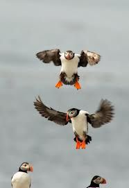 I want a pet puffin