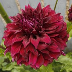 Dahlia 'Spartacus' - Sure to be a stand out with blooms across. Rare Orchids, Rare Flowers, Exotic Flowers, Tropical Flowers, Summer Flowers, Beautiful Flowers, Dahlia Flowers, Cottage Garden Plants, Garden Bulbs