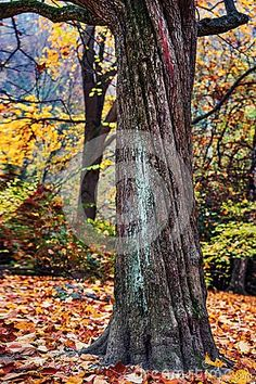 Autumn image, lonely tree, twisted trunk