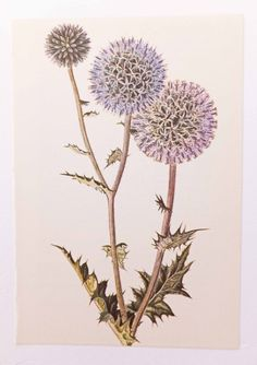 Globe Thistle, Vintage Flower Picture. Botanical Print. Flower. Home Decor by PeonyandThistlePaper on Etsy https://www.etsy.com/listing/193664768/globe-thistle-vintage-flower-picture