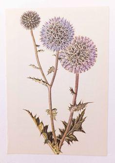 Globe Thistle, Vintage Flower Picture. Botanical Print. Flower. Home Decor by PeonyandThistlePaper on Etsy https://www.etsy.com/listing/193664768/globe-thistle-vintage-flower-picture