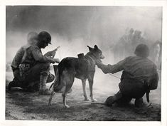 """1943- """"Pal"""", a U.S. Army telephone dog, shown with members of the signal corps demonstrating how he accompanies advance units and returns with telephone wire to a rear base."""