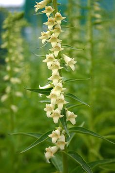 Foxglove Digitalis Lutea - plant with other woodland plants such as ferns in partial shade; attracts pollinating insects; more reliable than other foxgloves.