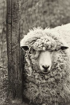 Nature photography monochrome print fine art sheep photo sepia wall art woolly sheep at rest - 5x7