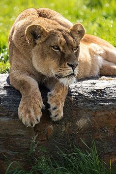 1000+ images about Lions on Pinterest | A lion, Africa and Animals