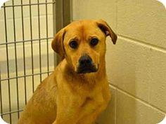 Chapel Hill, NC - Boxer Mix. Meet *SPARROW, a dog for adoption. http://www.adoptapet.com/pet/12462007-chapel-hill-north-carolina-boxer-mix