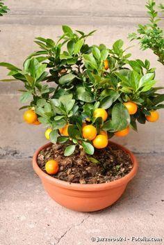 mandarin in ghiveci