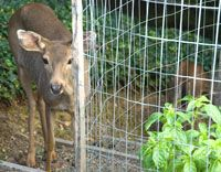 Deer, rabbit, and gopher -proof your vegetable garden.  Fencing strategies: Tall for deer, dense and buried for rabbits, mesh-bottomed beds for gophers/diggers.