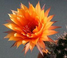 "Kaktus Echinopsis Schick Hybride ""oriole"" Kakteen Ebay, Plants, Succulents, Cactus, Pictures, Plant, Planets"