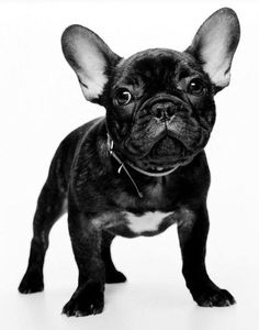 Batpig & Me Tumble It • Frenchie pup in black and white! ...