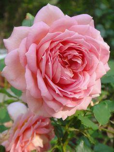 ~ La Ville de Bruxelles ~ - Rosas cor-de-rosa: gratidão, agradecimento, o feminino (muitas vezes aparece simbolizando o útero em algumas culturas, como o gineceu está para a cultura ocidental - ver cor-de-rosa)