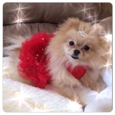 Babette looking glamorous in her Pommy Mommy Christmas tutu and tiara!