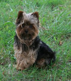 Pictures of Yorkshire Terrier Dog Breed Animals Of The World, Dogs Of The World, Animals For Kids, Cute Animals, Best Pets For Kids, Best Dogs, Love Pet, I Love Dogs, Cute Puppies