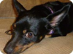 Spartanburg, SC - Miniature Pinscher/Chihuahua Mix. Meet Ollie, a dog for adoption. http://www.adoptapet.com/pet/11424160-spartanburg-south-carolina-miniature-pinscher-mix