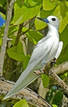 Common White Tern (Pete Morris)