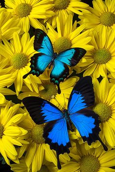 Two Blue Butterflies Print by Garry Gay