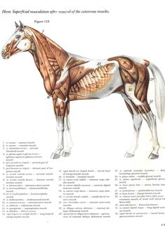 Horse Muscles Reference by eponagirl.deviantart.com on @deviantART ...