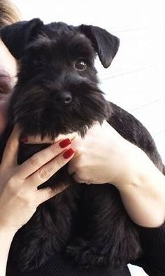 Ranked as one of the most popular dog breeds in the world, the Miniature Schnauzer is a cute little square faced furry coat. Black Schnauzer, Giant Schnauzer, Schnauzer Puppy, Schnauzers, Miniature Schnauzer Puppies, Beautiful Dogs, Animals Beautiful, Cute Animals, Cute Puppies