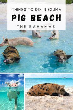 Pig Island Bahamas, Pig Beach Bahamas, Bahamas Pigs, Bahamas Honeymoon, Bahamas Vacation, Honeymoon Ideas, Bahamas Tourism, Swimming Pigs, Holiday Destinations