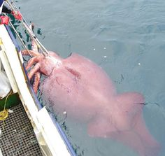 The crew of the New Zealand vessel San Aspiring worked to bring aboard the colossal squid they found in the Ross Sea. - Credit: Ministry of Fisheries, New Zealand.