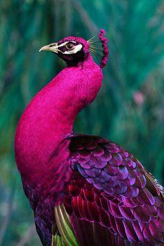 Royaly purple peacock