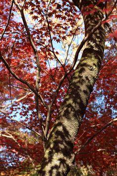 Nishikyō-ku, kyōto-fu, Japanで撮影された勝持寺の写真 Autumn tree : パシャデリック