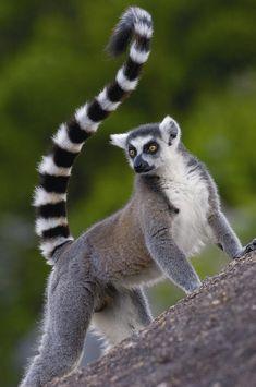 Lemur | Ring-tailed Lemur Lemur Catta Portrait Photograph