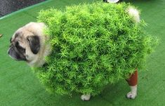Chia Pug. | 26 Costumes That Prove Pugs Always Win At Halloween