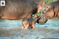 Did you know that hippopotamus means river horse but that they are actually related to whales?!  There are around 600 hippos in Virunga National Park in Democratic Republic of the Congo, but that's down from 27,000 in the 1970s. Virunga's incredible species are under increasing pressure from human activity in the park.