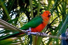 king parrots visit our garden most days.