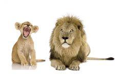 Muursticker Leeuw en welpje