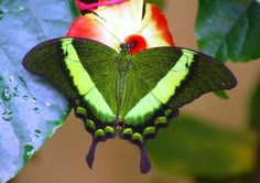 Emerald Swallowtail Butterfly (Papilio palinuris)